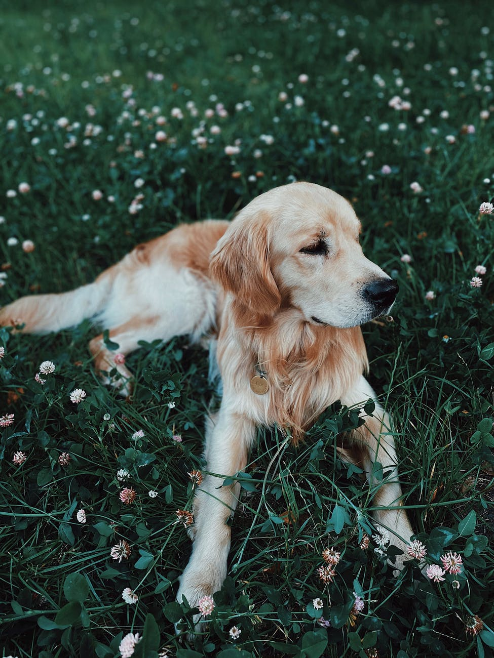 adorable golden retriever lying on verdant field